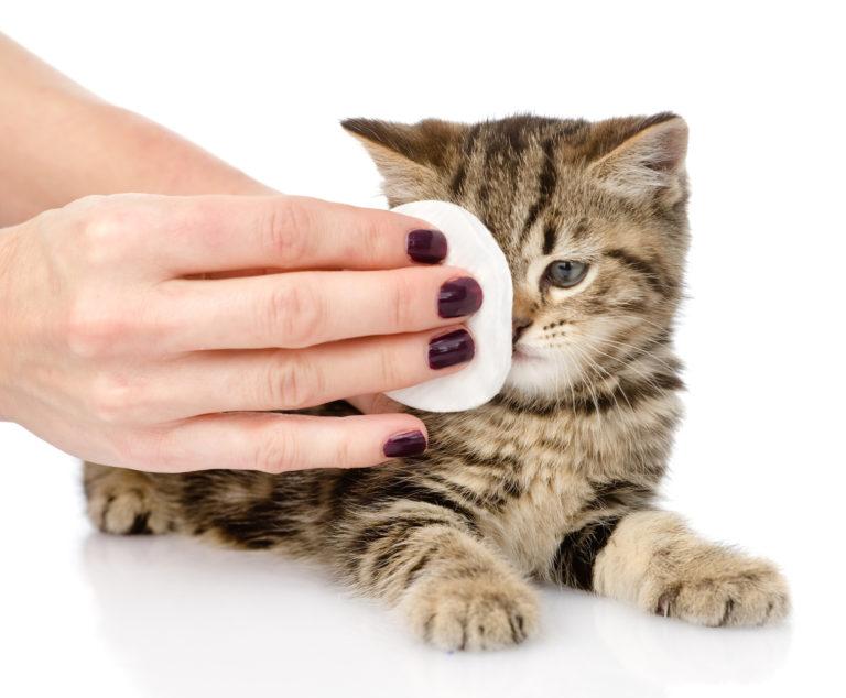 Čistění oka koťátka vatovým tampónem