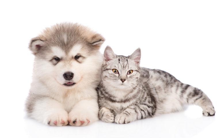 Štěně husky a kočka
