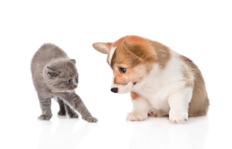 Štěně a kotě britské modré kočky
