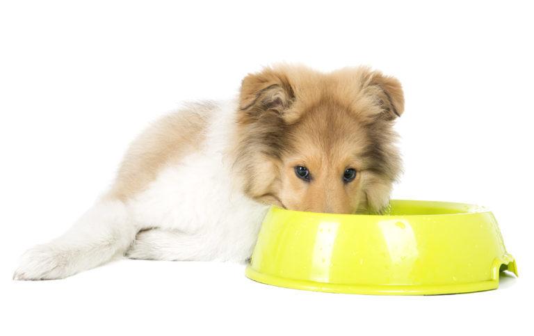 ležící štěně kolie se žlutou miskou