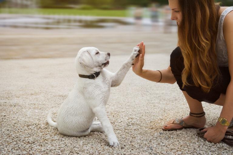 Bílé štěně sedící - dej pac