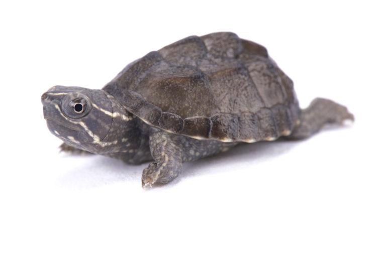 želva s bílým pozadí