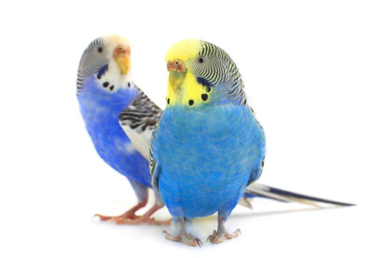 Dvě modré andulky