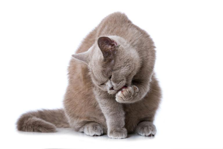 Britská kočka si olizuje tlapku