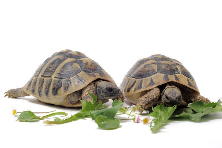 Dvě suchozemské želvy