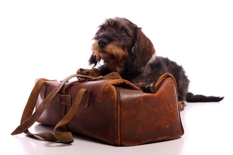 hrubosrstý jezevčík s hnědou cestovní taškou