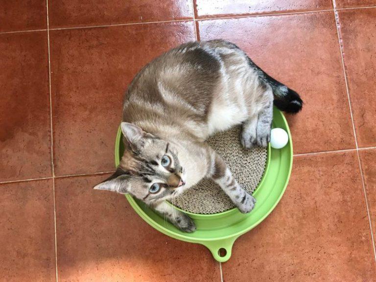 Kočka na inteligentní hračce