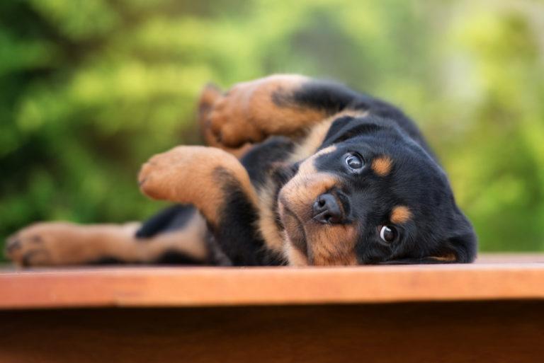 Ležící štěně rotvajlera