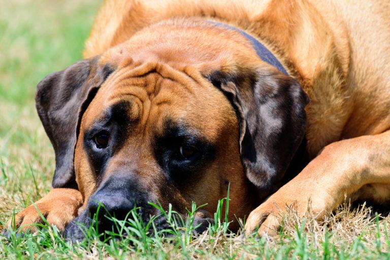 Ležící anglický mastif v trávě