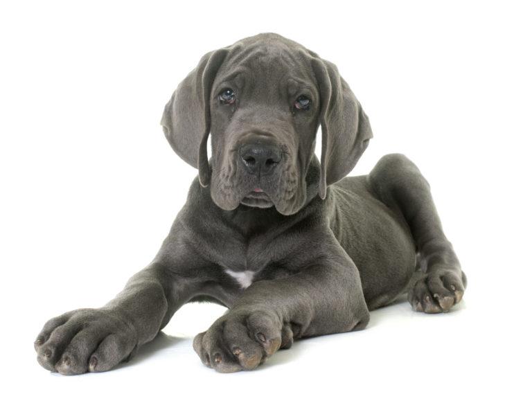 Modré štěně německé dogy