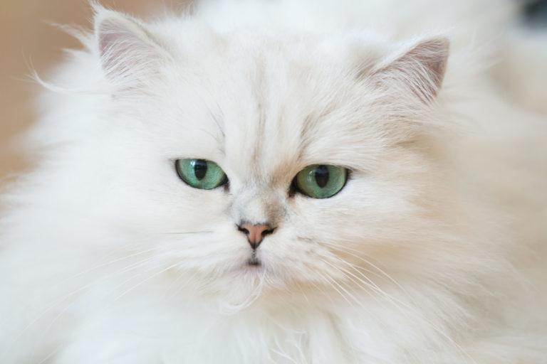 Perská bílá kočka