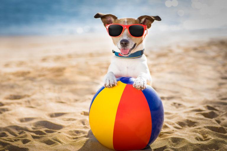 Jack russel na pláži v brýlích s nafukovacím balónem
