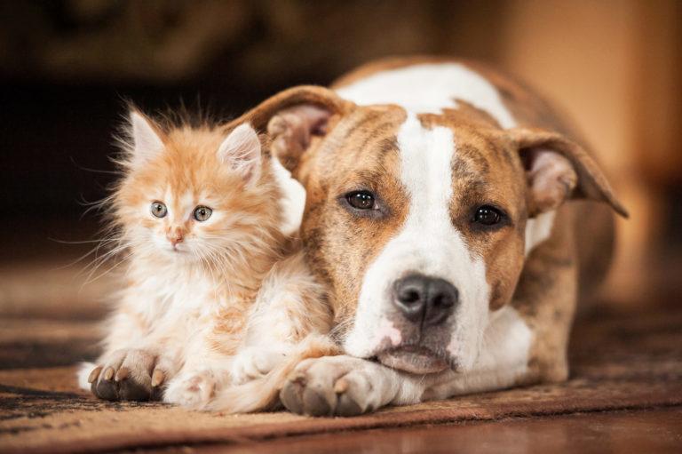Velký ležící pes a kotě