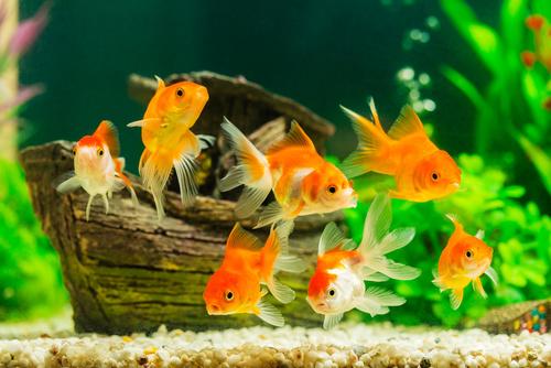 Zlaté rybky hejno