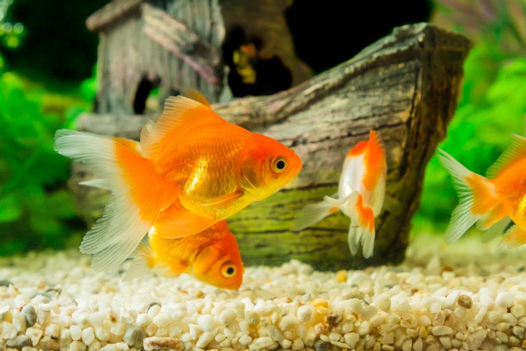 Zlaté rybky v akváriu
