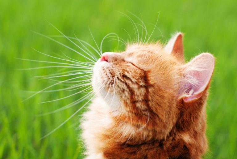 hlava spokojené kočky v pozadí tráva