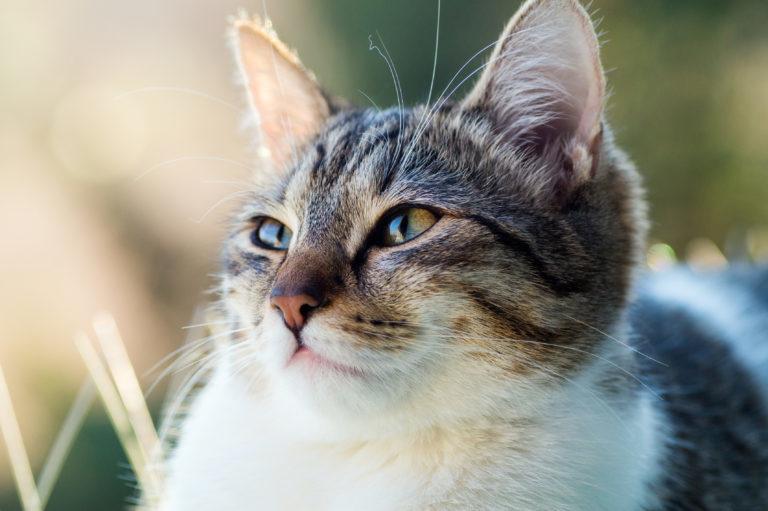 kočka bíle mourovatá