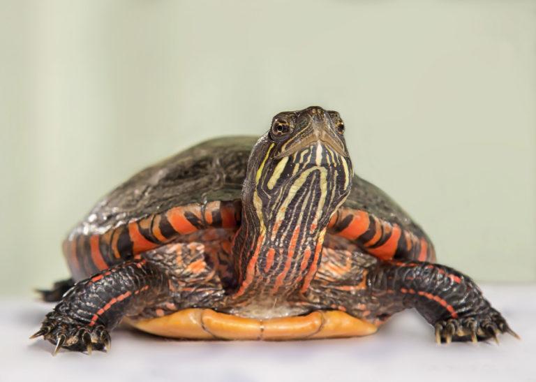 malá vodní želva