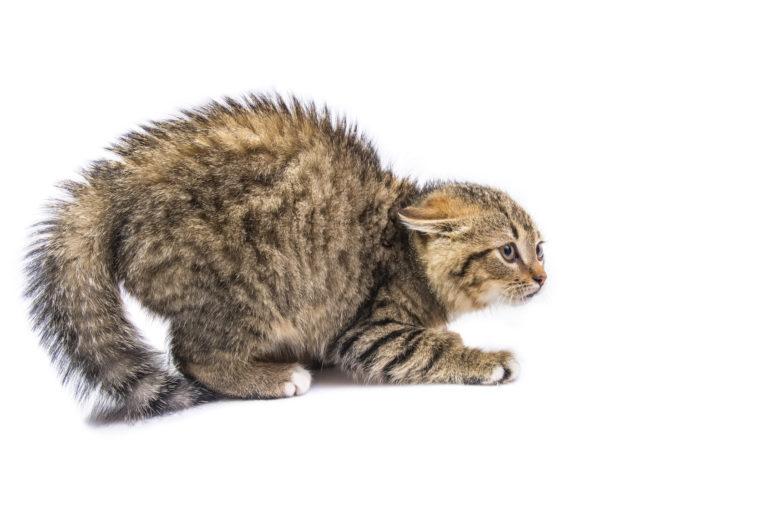 vyděšená naježená kočka
