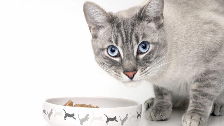 šedá kočka s modrýma očima u misky