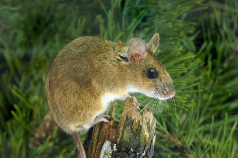 Myšice lesní na kmeni