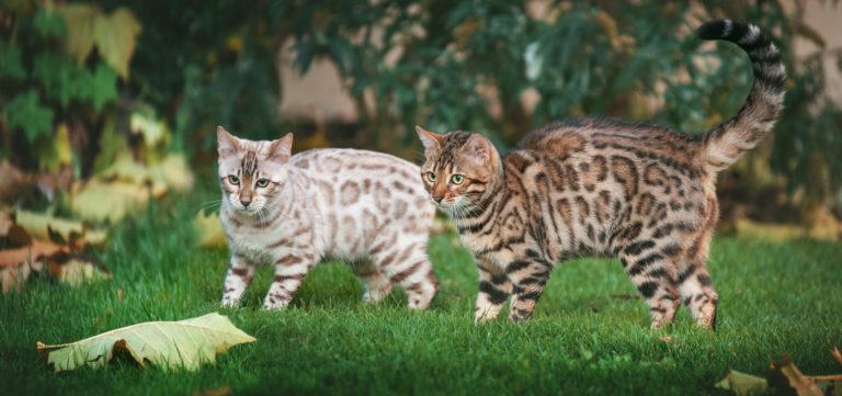 dvě bengálské kočky