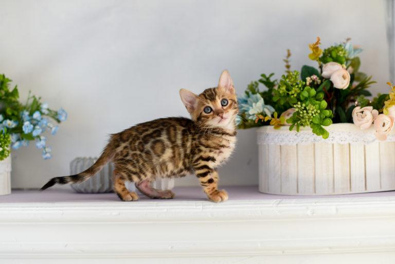 kotě kočky bengálské