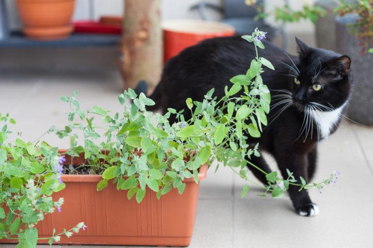 černá kočky s bílými znaky u truhlíku s kočičí mátou
