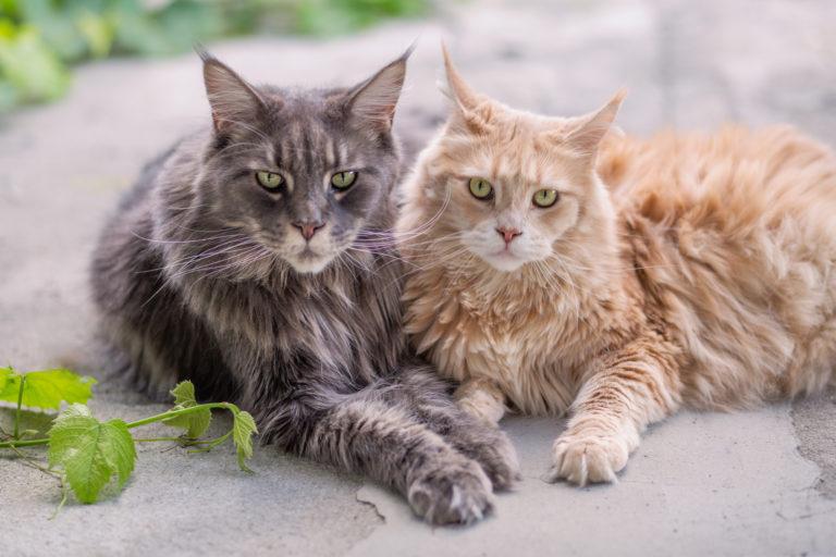 2 mainské mývalí kočky