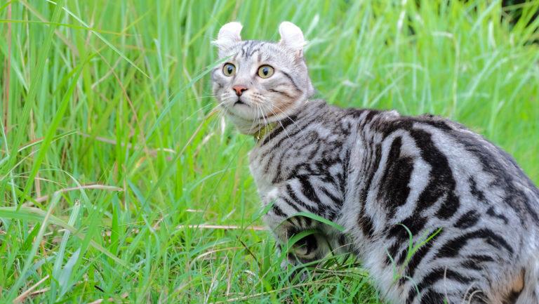 Americká kadeřavá kočka v trávě