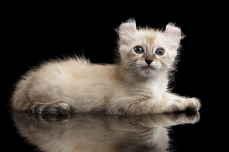 Americké kadeřavé kotě