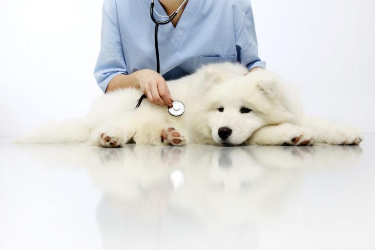 Bílý chlupatý pes u veterináře
