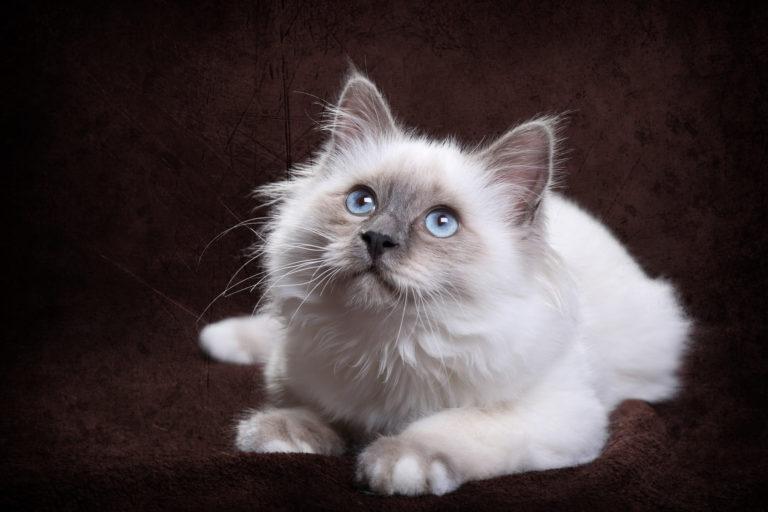 Birma kotě