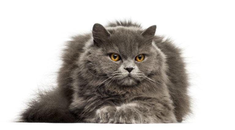 Britská dlouhosrstá modrá kočka