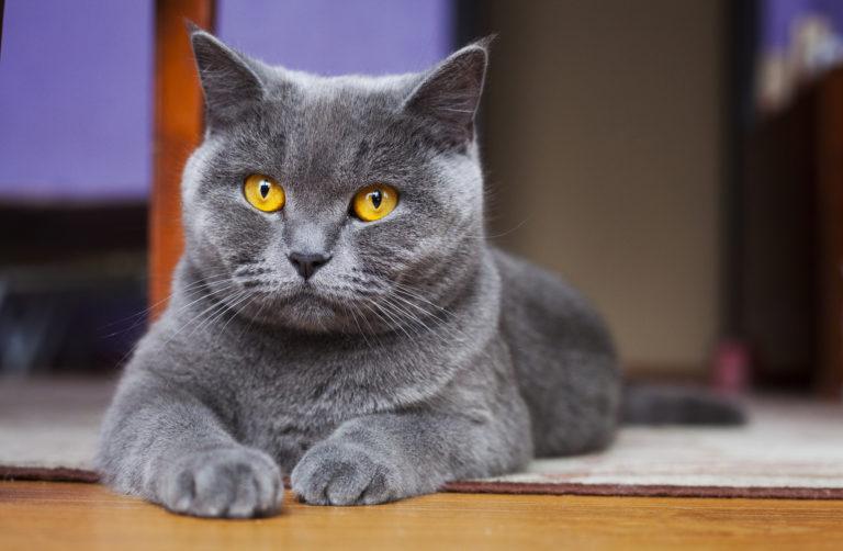 Britská modrá kočka ležící