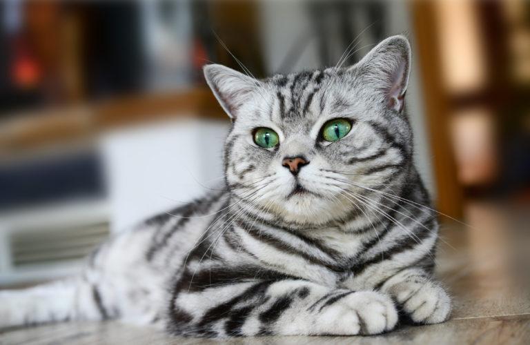Britská whiskas kočka
