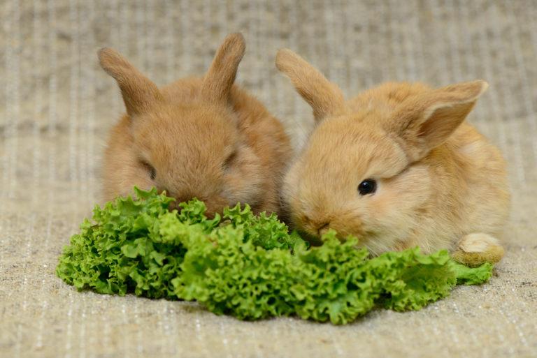 Dva malí králíčci jí salátové listy