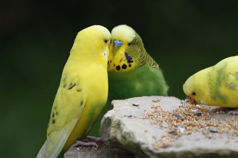 Krmení žlutozelených andulek