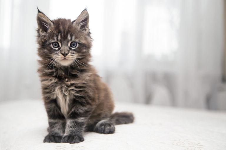 Mainské mývalí kotě