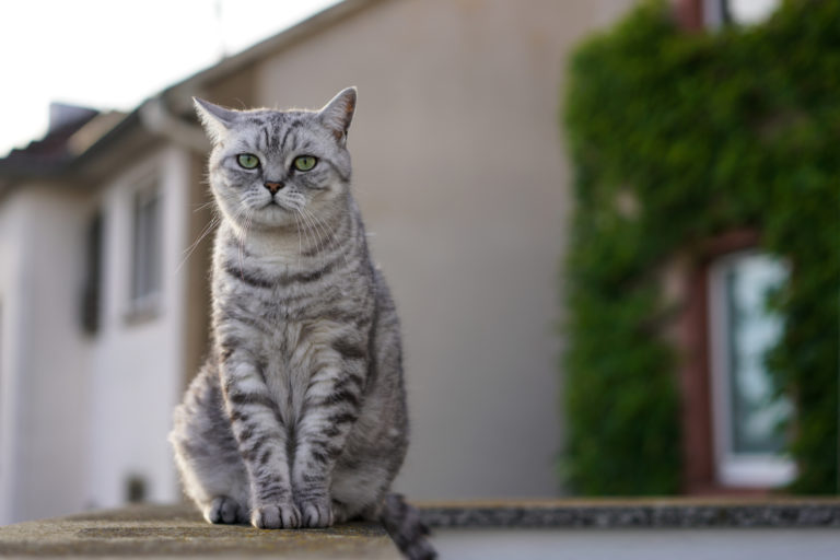 Sedící britská whiskas kočka