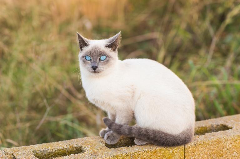 Sedící siamská kočka na zdi