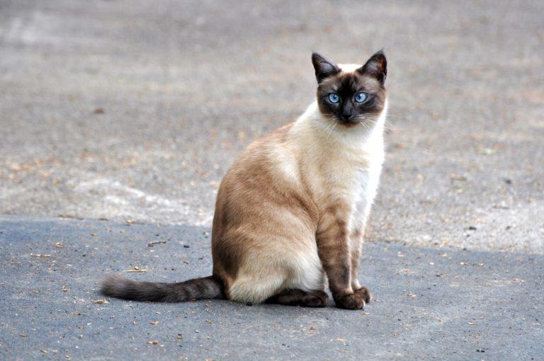 Sedící siamská kočka
