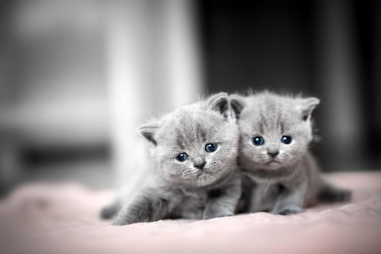 dvě koťata britské modré kočky