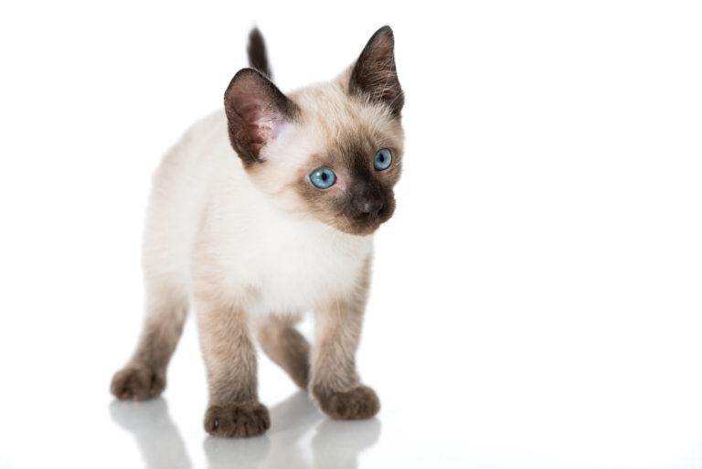 kotě simaské kočky