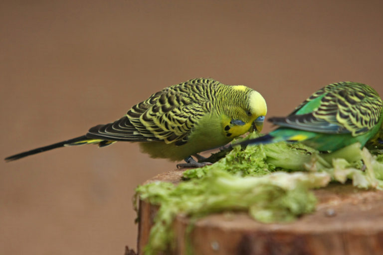 zelené krmení pro andulky