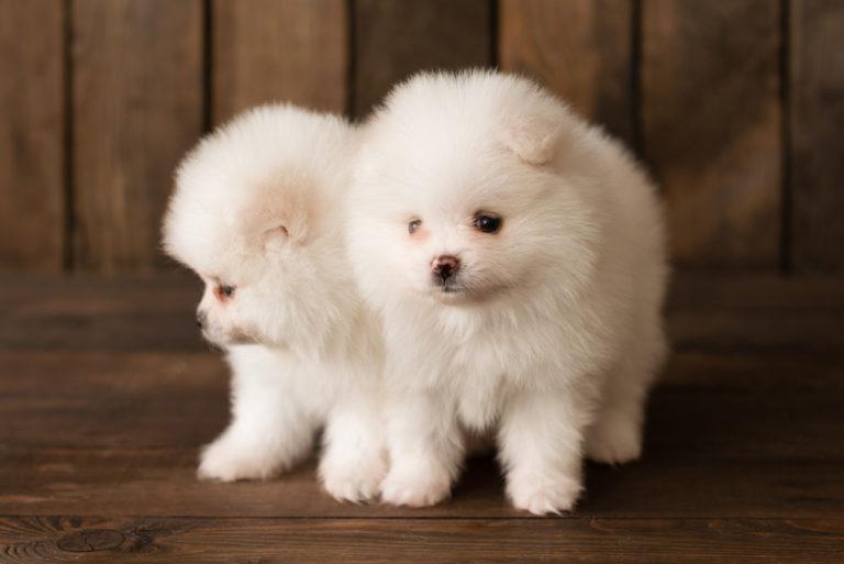 Dvě bílá štěňata pomeraniana