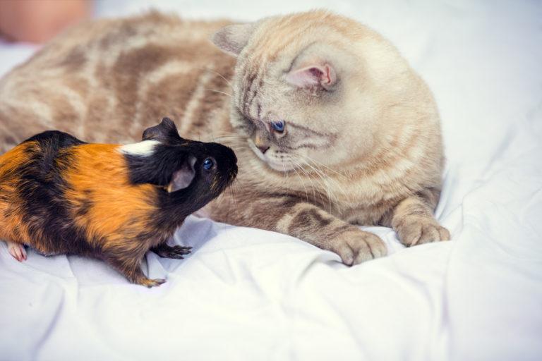 Kočka s morčetem