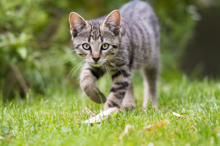 Tigrovaná kočka v trávě
