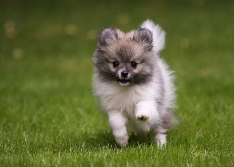 běžící štěně pomeraniana