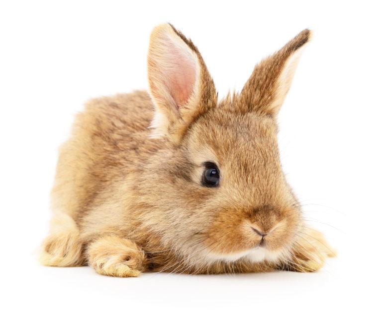 malý králíček